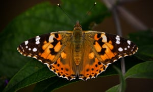 The painted lady butterfly helped to inspire the latest Guardian brand campaign.