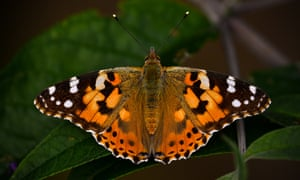 The painted lady butterfly helped to inspire the latest Guardian brand campaign, based on the theme of hope triumphing against the odds.