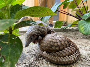 Rescued pangolins, bought from a wildlife seller, rest at the Green Fingers wildlife conservation park in Lagos, Nigeria