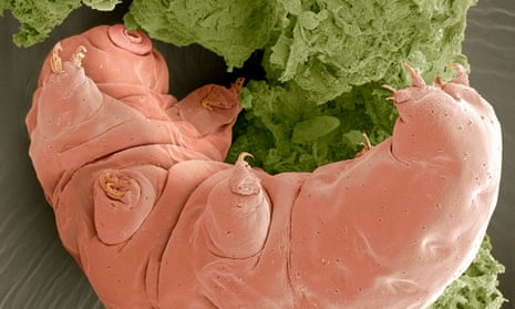 Tardigrades, nicknamed water bears or moss piglets, are less than one mm in length and can enter cryptobiosis to withstand temperature and moisture extremes.