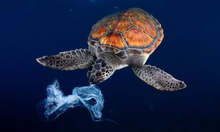 A green sea turtle tries to eat a plastic bag after mistaking it for a jellyfish.