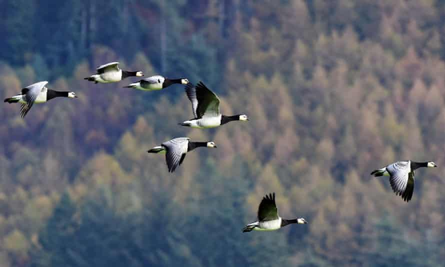Barnacle geese at the RSPB Mersehead reserve, Dumfries