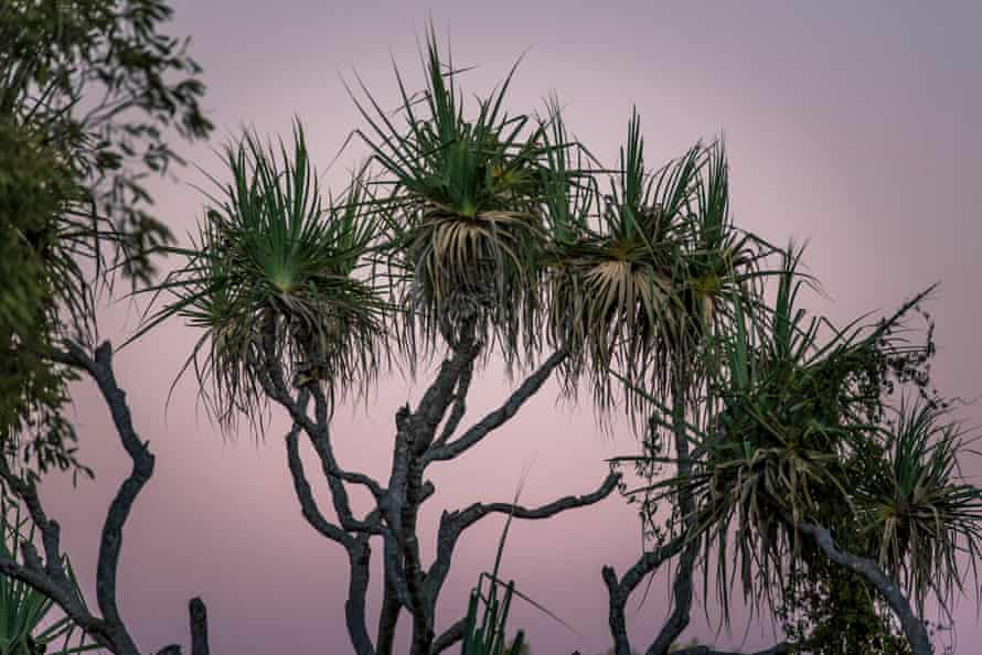 Pandanus trees at dusk, a classic sight within the Kimberley.