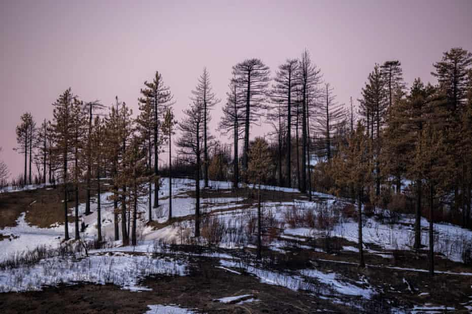 Burned trees are seen after the first winter storm of the season drops snow on the Bobcat fire scar in the Angeles national forest near Azusa, California, on 31 December 2020.