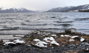 FILE - In this Jan. 7, 2016 file photo, dead common murres lie washed up on a rocky beach in Whittier, Alaska. In August 2018, federal wildlife officials are asking Alaska coastal communities to report dead and dying seabirds that have appear along beaches since May. Hundreds of thousands of common murres, a fast-flying seabird, died from starvation four winters ago in the North Pacific, and a new research paper attempts to explain why. (AP Photo/Mark Thiessen, File)