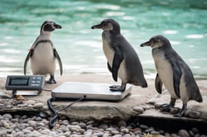 A Humboldt penguin is weighed on scales