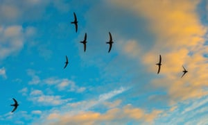 A flock of swifts at sunset.