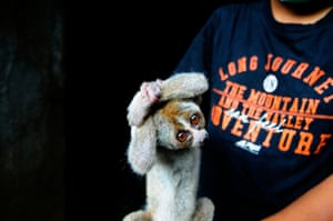 A Javan slow loris, rescued from illegal pet traders, is treated by medics from International Animal Rescue in Ciamis, West Java, Indonesia. The Javan slow loris is one of the world's most endangered species