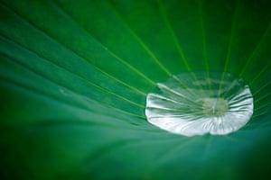 Tokyo, Japan Rainwater gathers on a lotus leaf at Shinobazu pond in Tokyo
