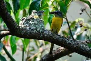 A female grey-chinned minivet feeds her chicks in a nest in Wulai District, New Taipei City.