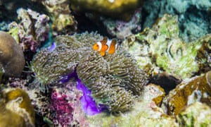 A clownfish swims around some coral.