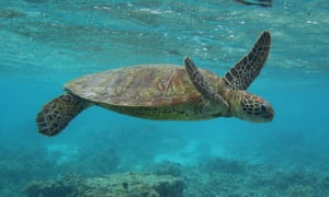 A turtle off Lady Elliot Island in the Great Barrier Reef marine park
