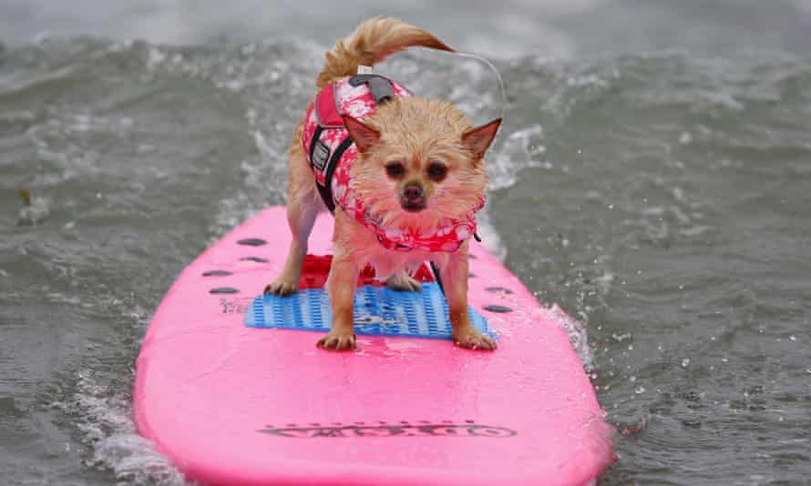 A pomeranian named Soda surfs in the small dog competition during the10th annual Petco Unleashed surfing dog contest at Imperial Beach, California August 1, 2015. Proceeds raised at the event go to benefit the San Diego Humane Society. REUTERS/Mike Blake