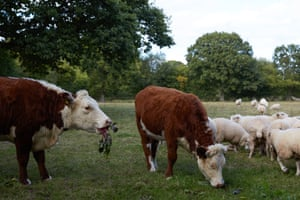 The Hereford cattle enjoy the vegetables too...