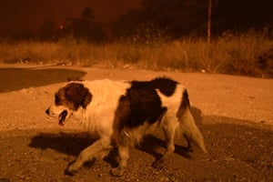 A stray dog walks during a wildfire in northern suburbs of Athens, Greece. Residents have been evacuated and firefighters have fought a round-the-clock battle to stop the flames just outside the birthplace of the ancient Olympics.