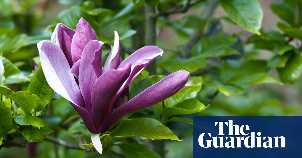 Plant Magnolias Now Reap The Rewards In Spring Life And Style