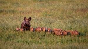 A wild boar family in Mecklenburg-Western Pomerania, Germany.
