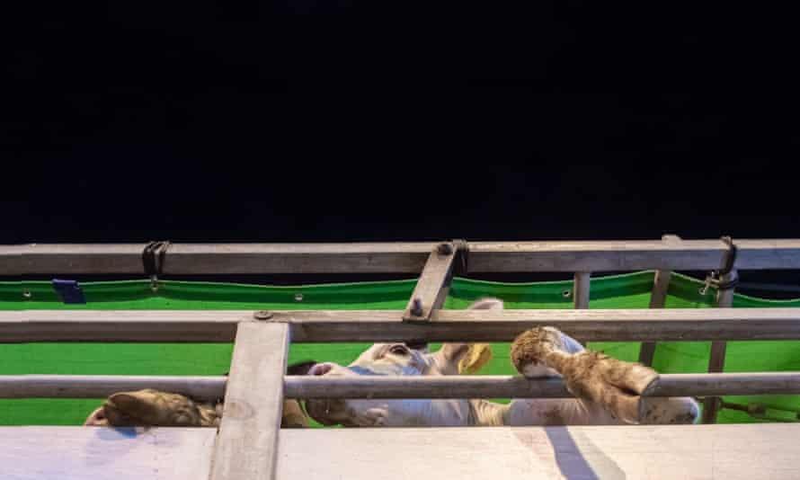 Cows on a truck in Haifa, Israel