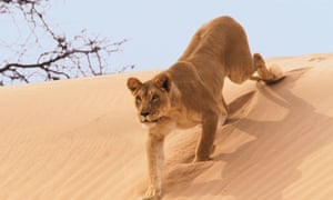 A lioness stalks her prey on the dunes on Namibia in the BBC's Planet Earth series