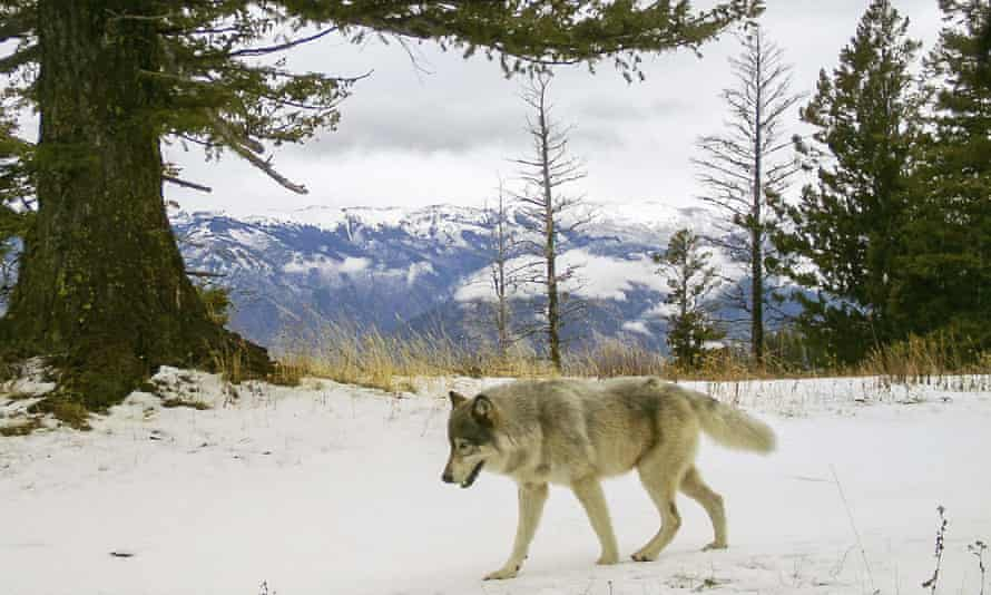A wolf from the Snake River Pack passes in eastern Wallowa County, Oregon in 2014.