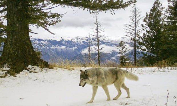 Oregon wolf makes history on lengthy journey to California