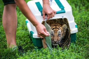 A two-month old Siberian tiger cub is released at Veszprem Zoo, 108km southwest of Budapest, Hungary.
