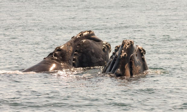 North Atlantic right whales off Grand Manan Island, Bay of Fundy, New Brunswick, Canada. Photograph: Alamy