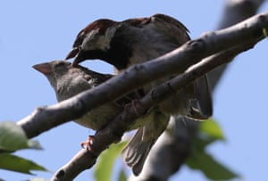 Female and male sparrow on a tree branch