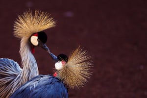 A pair of grey crowned cranes at a zoo in Fuengirola, near Malaga, Spain. After nine weeks without visitors because of the coronavirus lockdown, many animals' lives and behaviours have changed