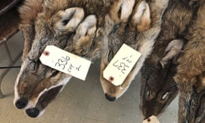 Coyote pelts are displayed for sale at a trappers' auction. Prices are estimated to be up 25% .