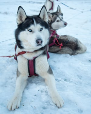 Paws for thought: Siberian huskies.