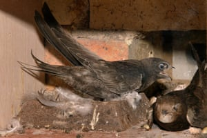 A swift chick calls loudly for food from a parent that has just returned from a foraging trip with a throat-pouch full of insects.