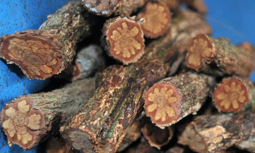 The Banisteriopsis caapi vine, the key ingredient to ayahuasca, known by numerous different names throughout the Amazon.