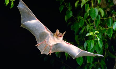 'Chances are he will spend the rest of his life alone' … a greater mouse-eared bat.