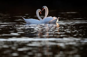 Two mute swans show their courtship on the Rhine river in Au am Rhein near Karlsruhe, Germany