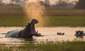 angry hippos, Planet Earth II.