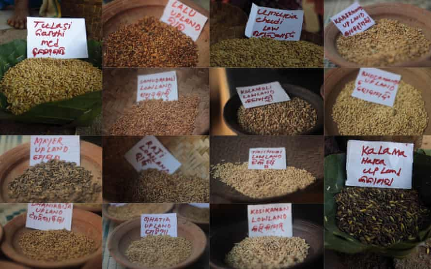 Some of the heirloom varieties of rice on offer. Many of the strains have useful qualities, such as being more resistant to drought or flooding.
