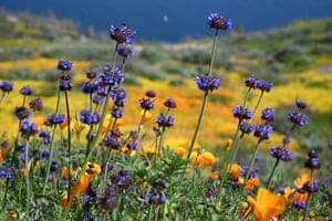 "Chia are one of the wild flowers of the current ""super bloom"""