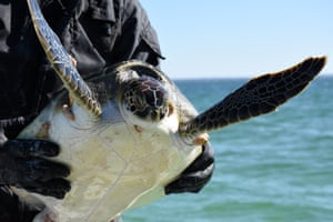 A cold-stunned turtle is rescued following extreme cold weather on St. Joseph Peninsula, Florida, US