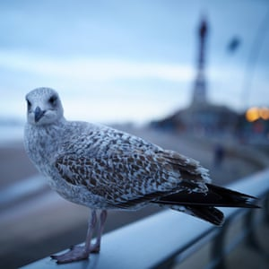 A gull with Blackpool Tower in the background