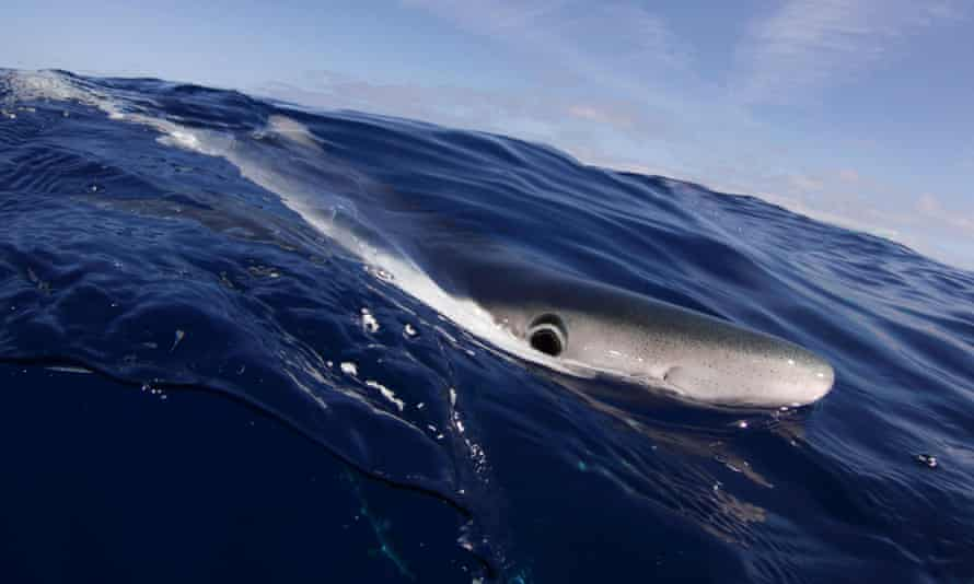Blue Shark at the sea surface. Santa Maria, Azores, August.