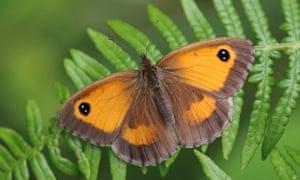 The gatekeeper butterfly