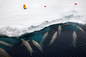 A tourist watches crabeater seals in the Weddell Sea