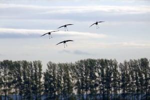 Swooping cranes