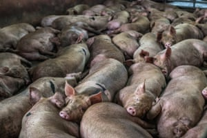 Pigs in a Thai slaughterhouse