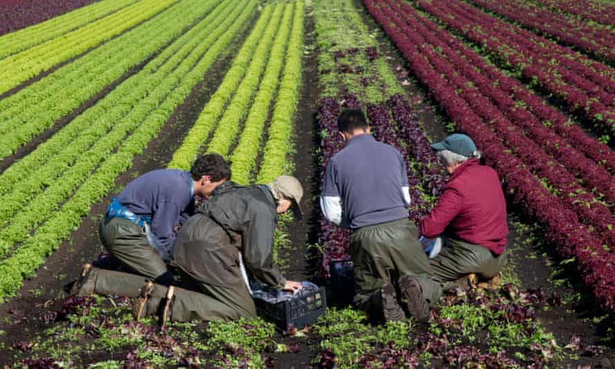 Four farm workers picking lettuce