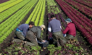 four workers picking lollo rosso lettuces in Stockport