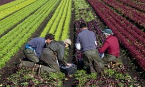 Four agricultural workers picking lettuce in Southport, Lancashire.
