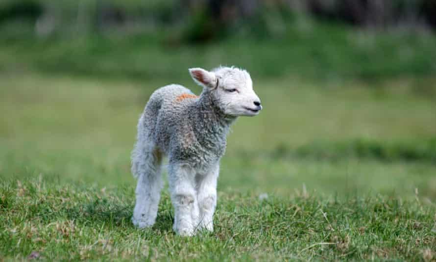 A new-born lamb in Kent.