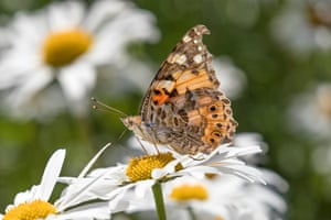 A painted lady butterfly in County Durham, England